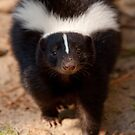 Skunk - Eye Contact by Benjamin Brauer