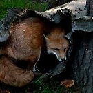 Red Fox Hiding Hole by Benjamin Brauer