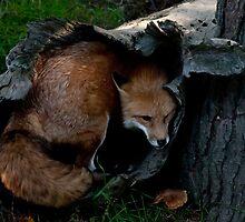 Red Fox Hiding Hole by Benjamin Brauer