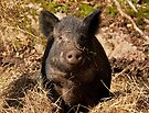 Piggy in the Hay by Benjamin Brauer