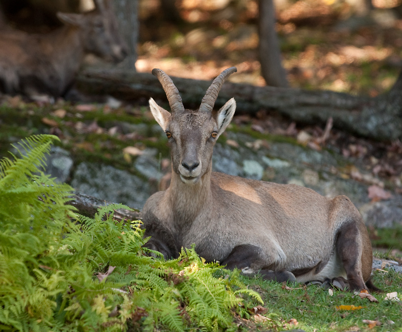 Ibex Eye Contact - Nap Time by Benjamin Brauer