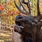Mule Deer Mating Call - Autumn by Benjamin Brauer