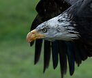 Young Bald Eagle by Benjamin Brauer