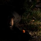 Baby Black Bear - Please sir, may I have a salmon? by Benjamin Brauer