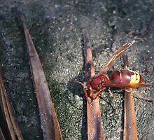 Oriental Hornet (Vespa orientalis). by larry flewers