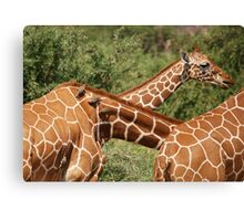 reticulated giraffes and oxpeckers Canvas Print