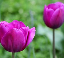 Purple Tulips by Michael L. Colwell