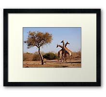 Giraffe combination, Mashatu game reserve, Botswana Framed Print