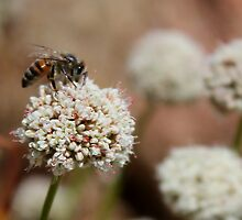 Honey Bee on Flower by Michael L. Colwell