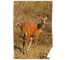 Bushbuck baby Poster
