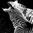 Zebra by Shiju Sugunan
