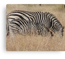 Zebra, South Africa Canvas Print