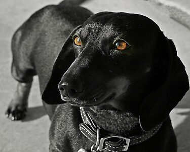 Grace the Dachshund by Susanne Correa