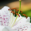 Lily Close Up by haybales
