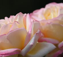 Roses by blenny80