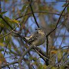 Northern Mockingbird  by NewfieKeith