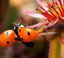 Ladybug Taking Flight by Betsy  Seeton
