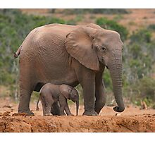 Mother and Calf Photographic Print