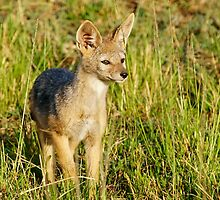 jackal pup by roger smith