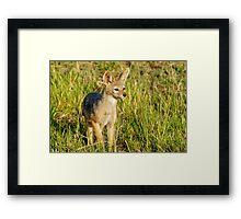 jackal pup Framed Print