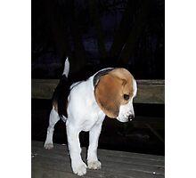 Beagle Baby Photographic Print
