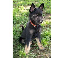 Terrier Pup Photographic Print