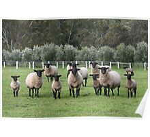 Suffolk Ewes And Lambs Poster