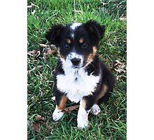 Border Collie Pup Photographic Print