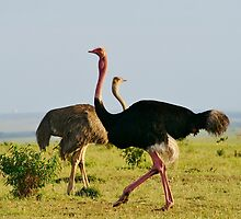 masai ostrich pair by roger smith