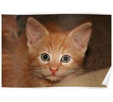 Kitten Douglas Poster