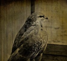 Buzzard by Catherine Hamilton-Veal  ©