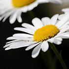 Oxeye daisy by blodauhyfryd