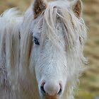 Wild pony/Ceffyl gwyllt by blodauhyfryd