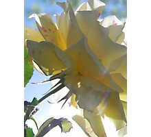 yellow rose from below Photographic Print