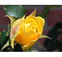 budding yellow rose Photographic Print