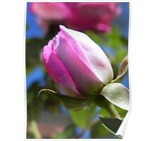 a little pink rose bud Poster