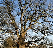 Old tree/Hen goeden by blodauhyfryd