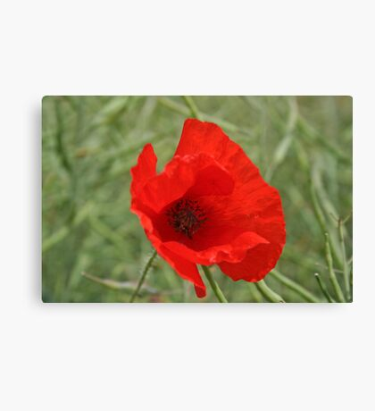 Single Red Poppy Canvas Print