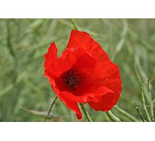 Single Red Poppy Photographic Print