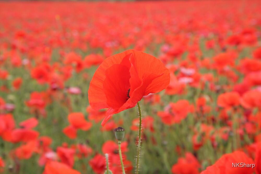 Poppy in poppy field by NKSharp
