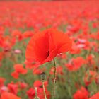 Poppy in poppy field by NKSharp