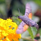 Hummingbird Hawkmoth (Macroglossum stellatarum ):  by larry flewers