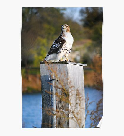 Red Tail Hawk... Poster