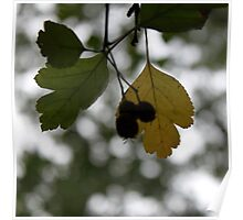 leaf yellowing black haw Poster
