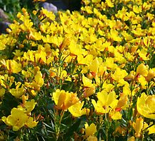 Buttercups Everywhere You Look! by kkphoto1