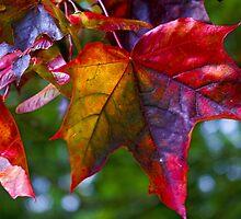 Autumnal leaf by Steve plowman