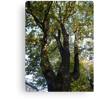 Oak Canvas Print