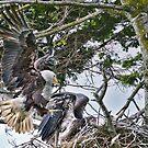 Bald Eagles Raising a Family by David Friederich