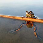 The Proud Frog by Istvan froghunter