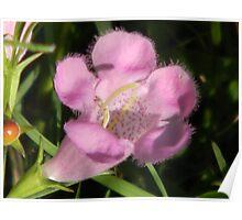 Fuzzy Purple Gerardia Poster